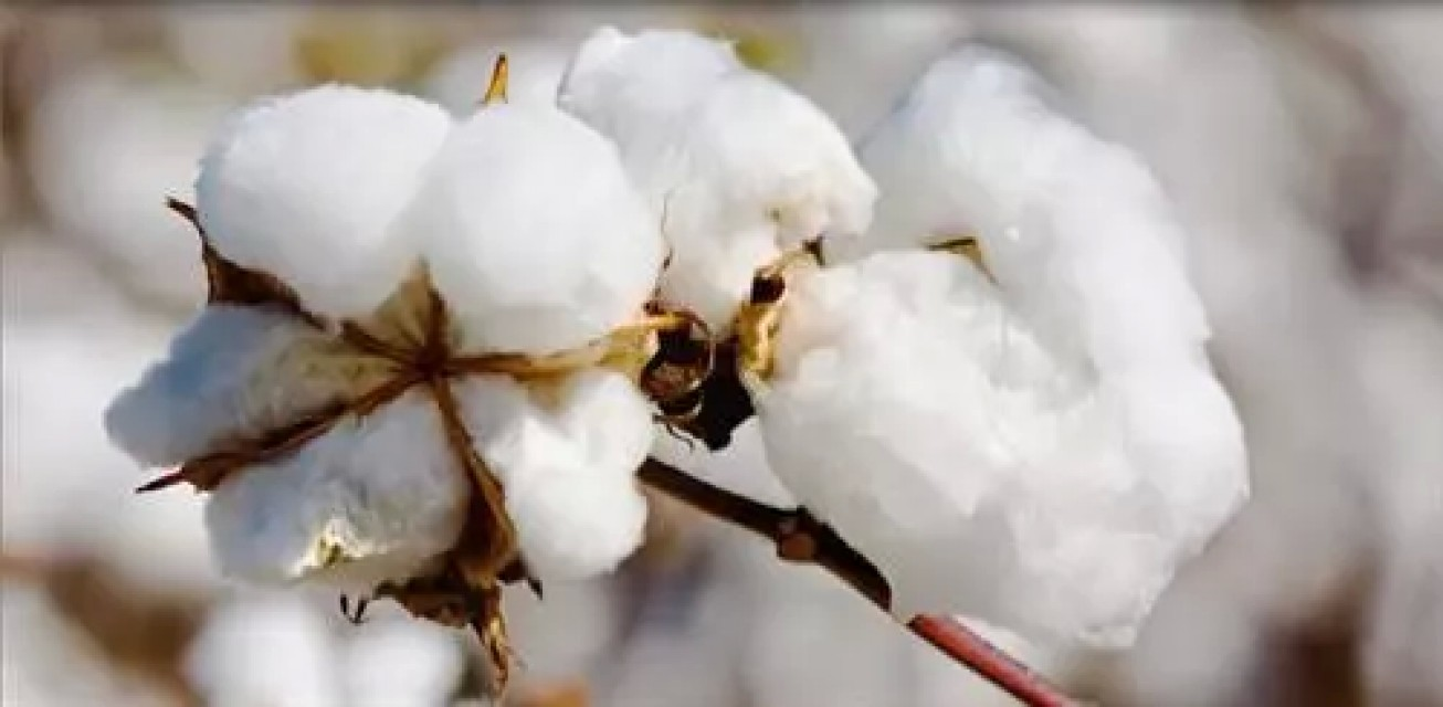 Indian Raw Cotton Supplier